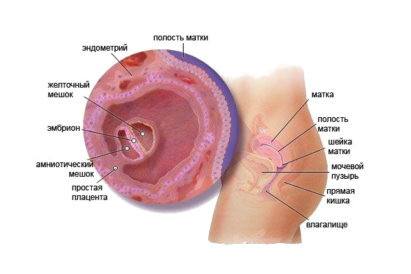 Что такое анэмбриония
