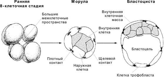 Что такое бластоциста иморула иихвзаимосвязь