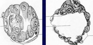 Бластоциста и морула при имплантации: стадии развития, подсадка, перенос