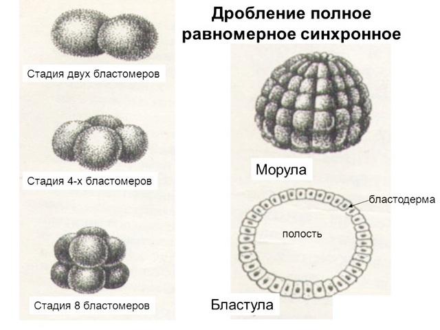 Стадии развития морула